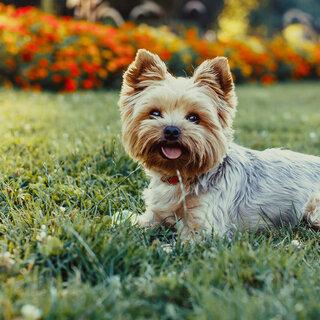 Pet: Encontro de Cães da raça Yorkshire Terrier